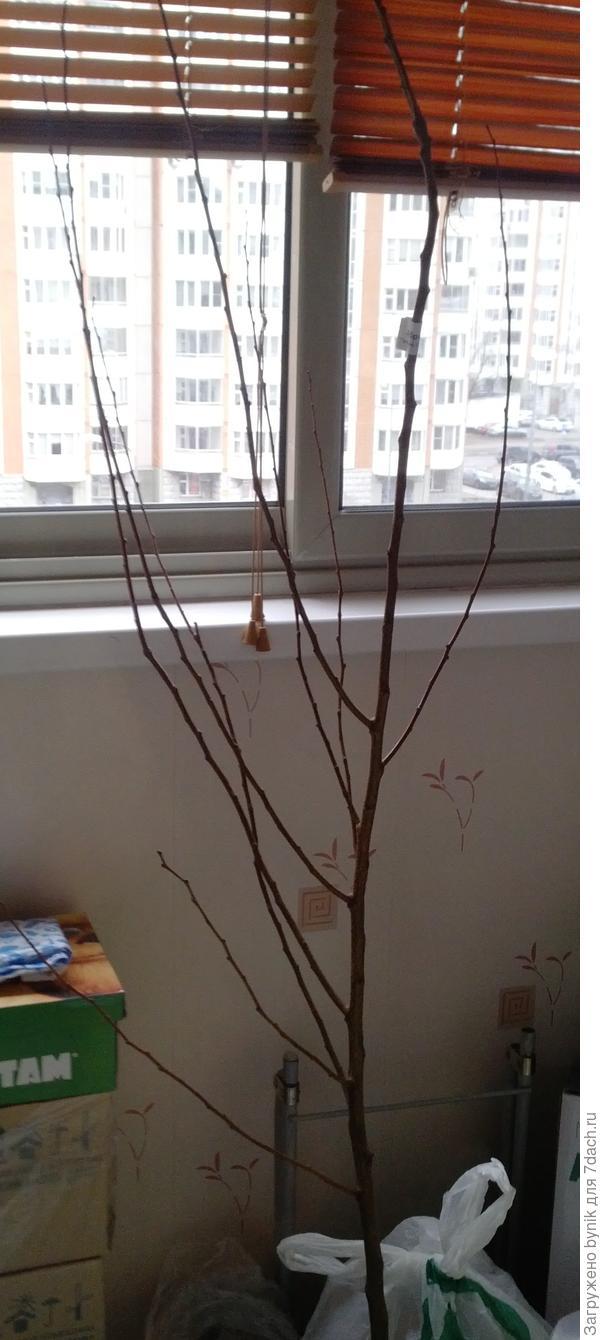 Саженец абрикоса 3-х лет