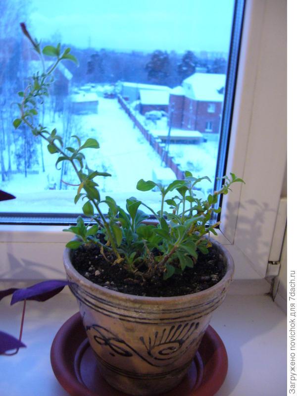 Одна петуния все лето жила на балконе, осенью обрезала и поставила на окно