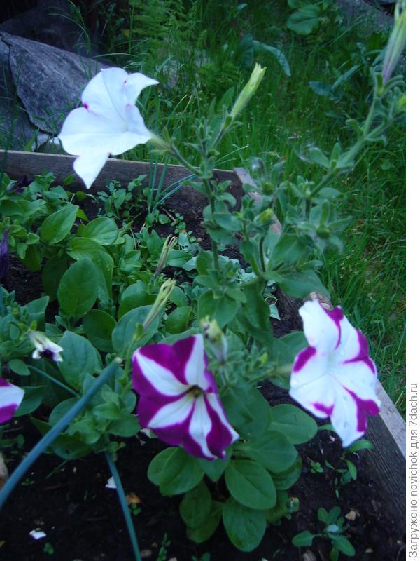 На одном растении получилось три разных по расцветке цветочка