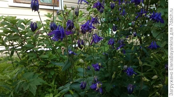 Синяя красавица