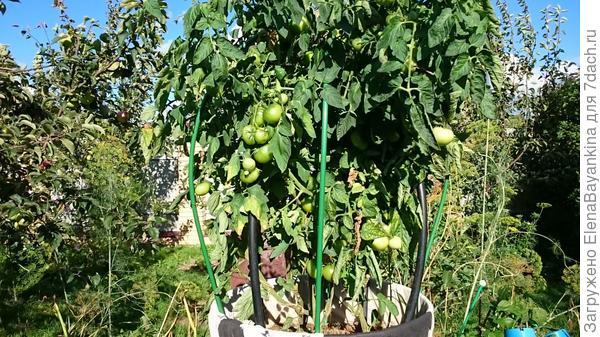 на этой фото немного отслеживает, но можно разглядеть, что томаты почти ничем не болеют, конец августаа