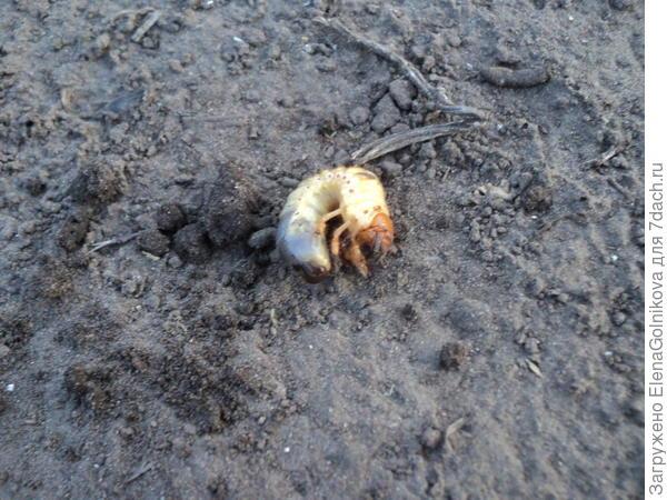 хрущ - личинка майского жука