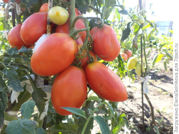 Кисть помидоров Царевна Лебедь