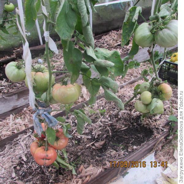 томаты Ранняя Любовь
