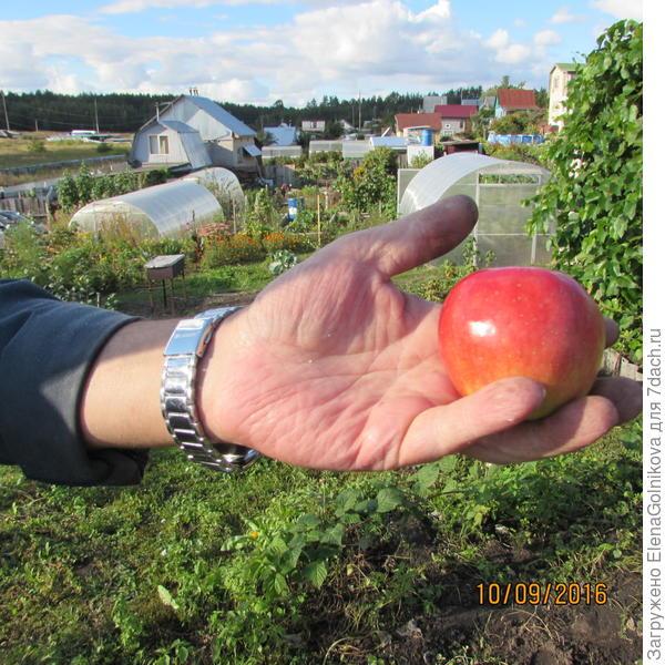 яблоко сорта Красуля