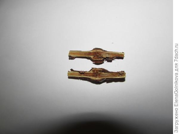 галлица в разрезе стебля малины