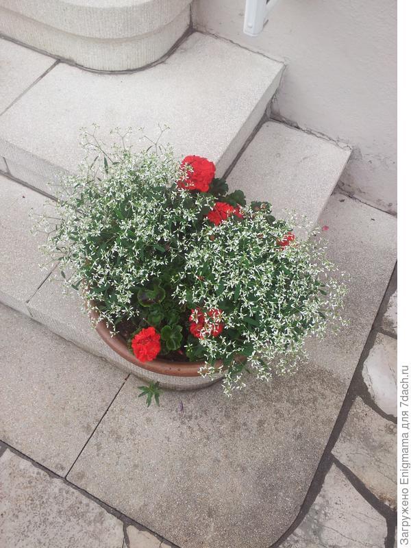 Белые цветы с геранью