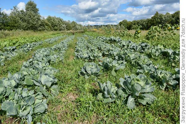поле капусты