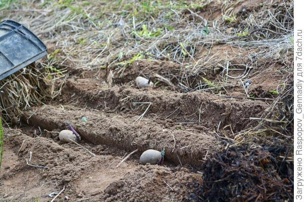 В борозды высаживаем картофель...