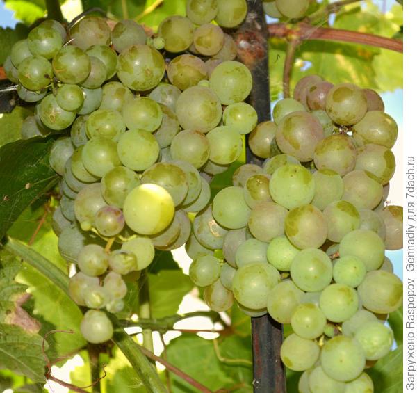 Как сажать виноград в сентябре 179