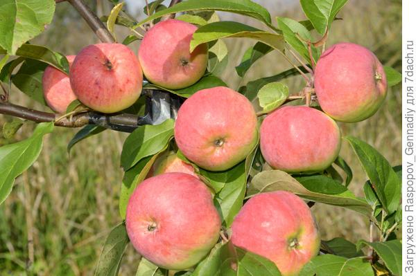 2 яблок