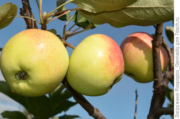 1 яблоки