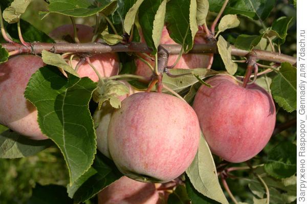 4 яблока