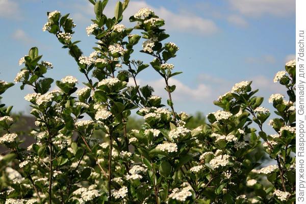 Цветет арония в саду