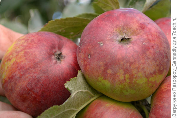 Московские яблочки