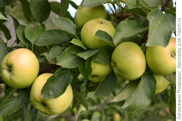 ранние яблоки
