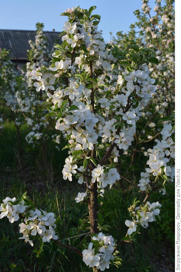 цветет канделябр