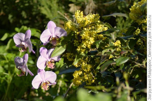 магония и орхидея