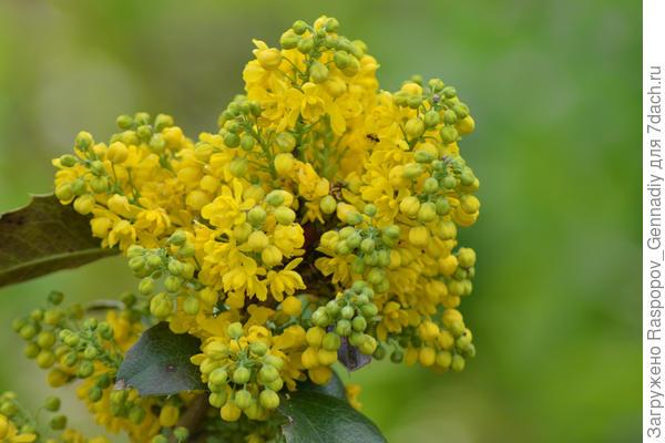 цветы съедобны