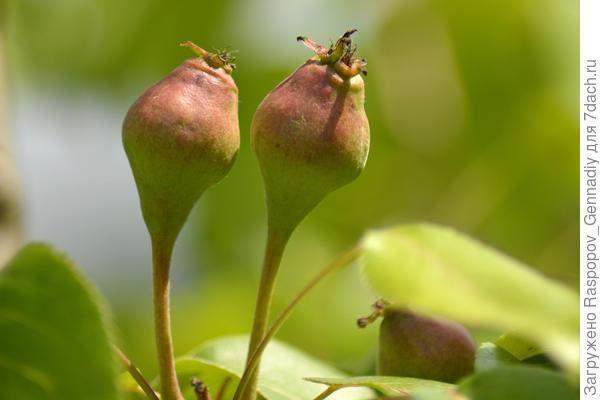 груша Липеньская