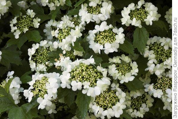 цветы калины