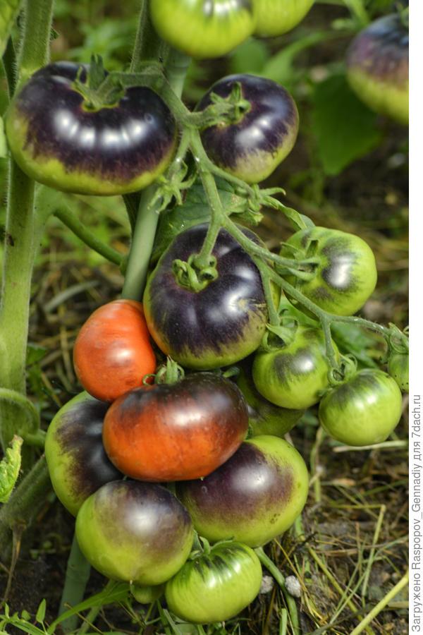 томат цветной