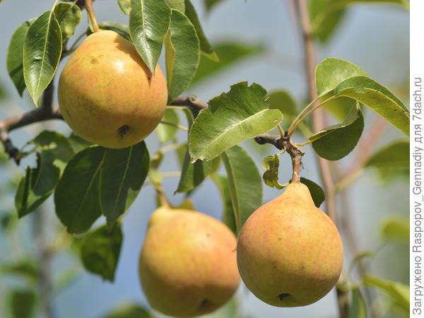 летняя груша