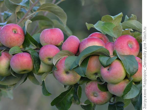 летнее яблоко