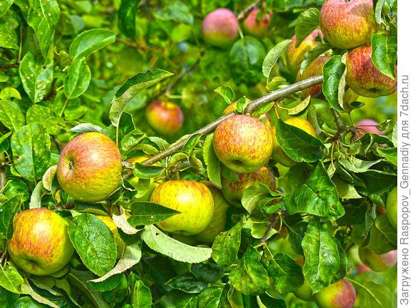 осеннее яблоко