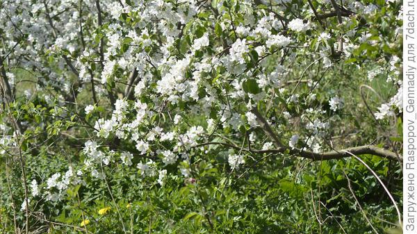 трава под яблонями на навозе