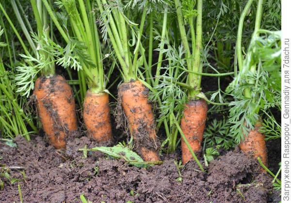 Моя морковь на компосте