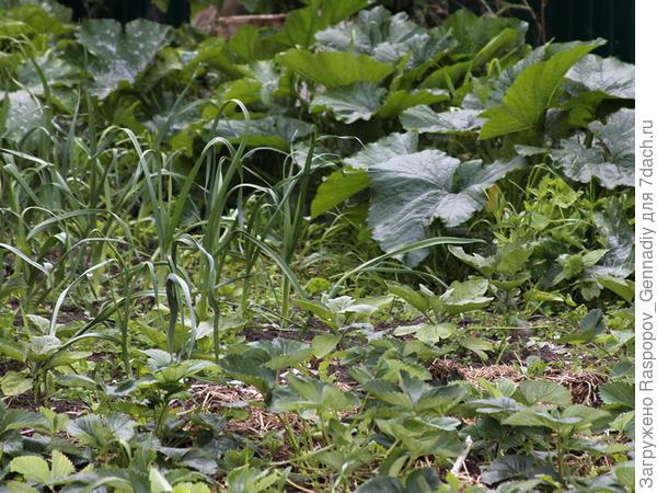 на хорошей почве все растет с любой мульчей