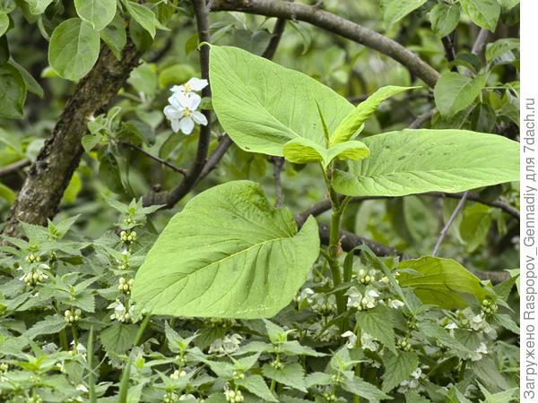 Горец Вейриха под яблоней