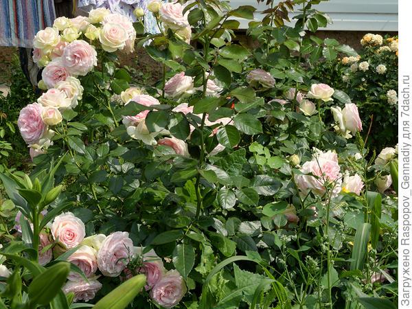 Сорняки среди роз