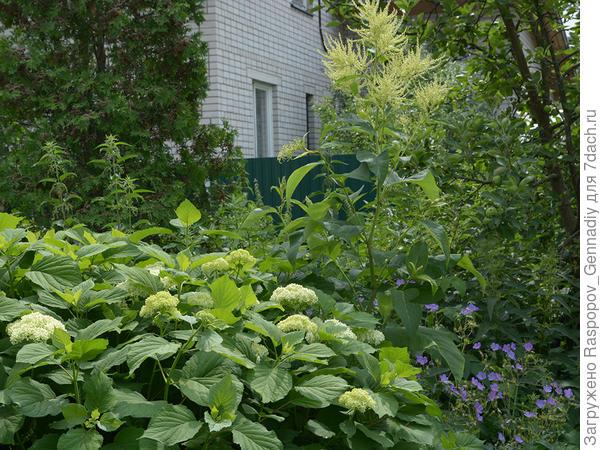 Горец зацвел в саду