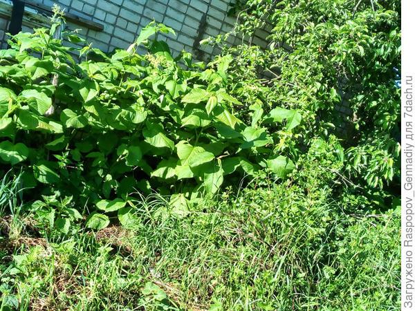 Горец в моем саду