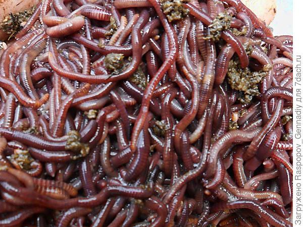 Дождевые черви суставы ребенку 7 лет хрустят суставы
