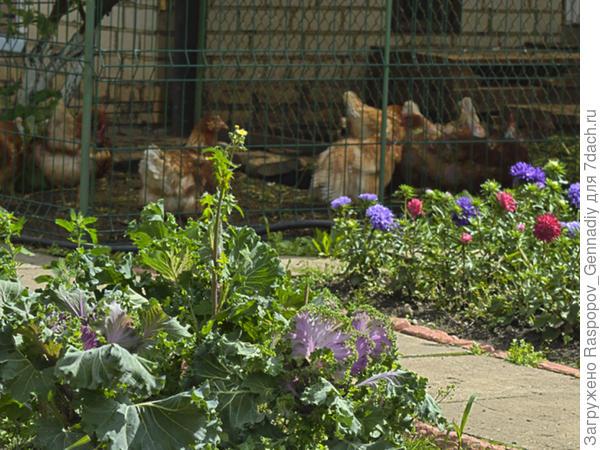 Куры  в саду