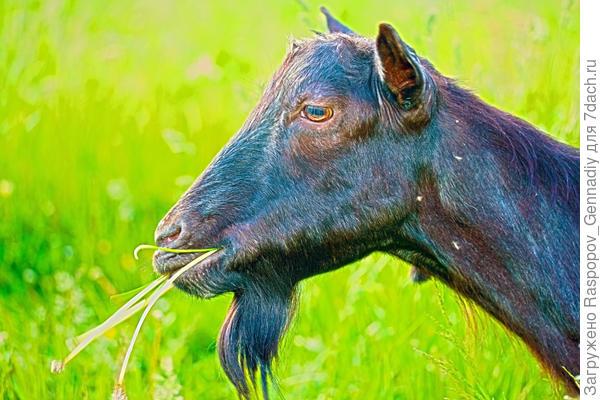Наша первая коза