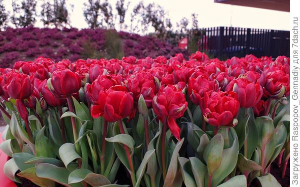 Огромные тюльпаны в марте