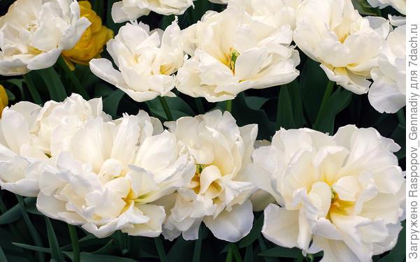 Встречают тюльпаны как розы