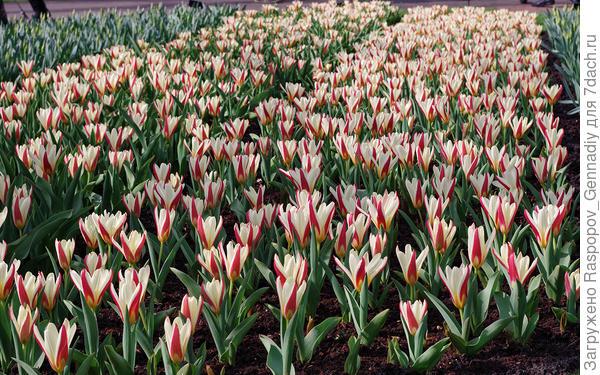 Рай тюльпанов