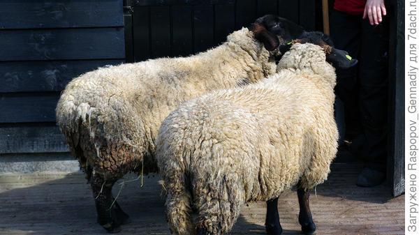 Здесь элитные овцы