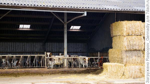 Здесь держат коров