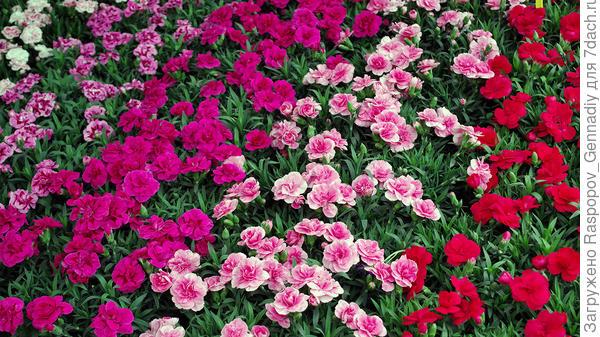 Малиново-розовое