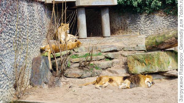 Мирный львы