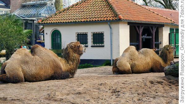 Добрые верблюды