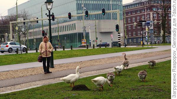 И здесь дикие гуси гуляют по городу