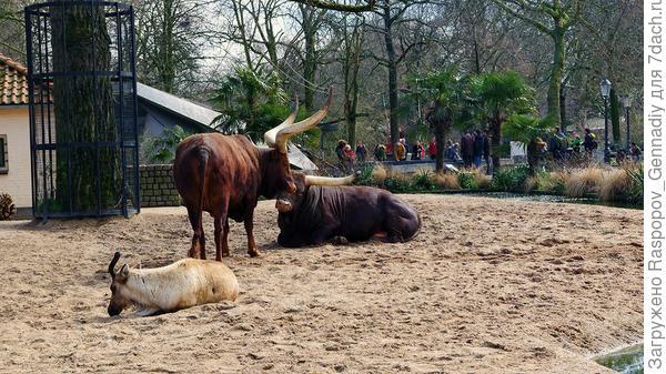 Шикарные буйволы