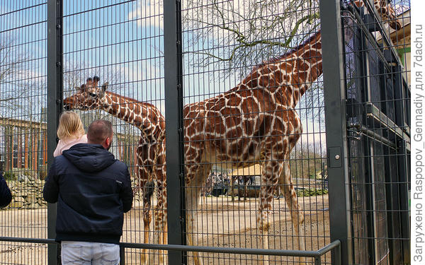 Любопытные жирафы